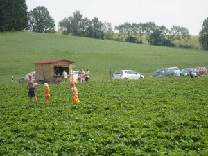 Erdbeeren Holzner - Erdbeerfeld Euernbach / Kreutenbach