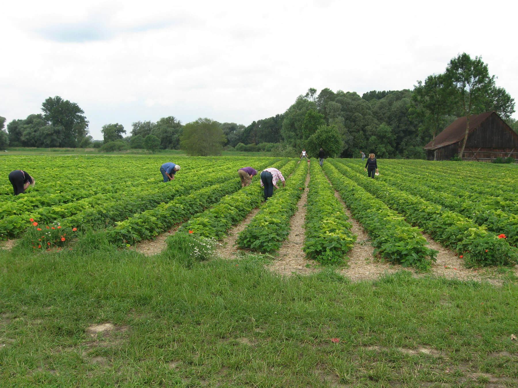 Erdbeerfeld Mossburg von Erdbeeren Holzner - Erdbeeren selbst pflücken bei Erdbeeren Holzner in Moosburg