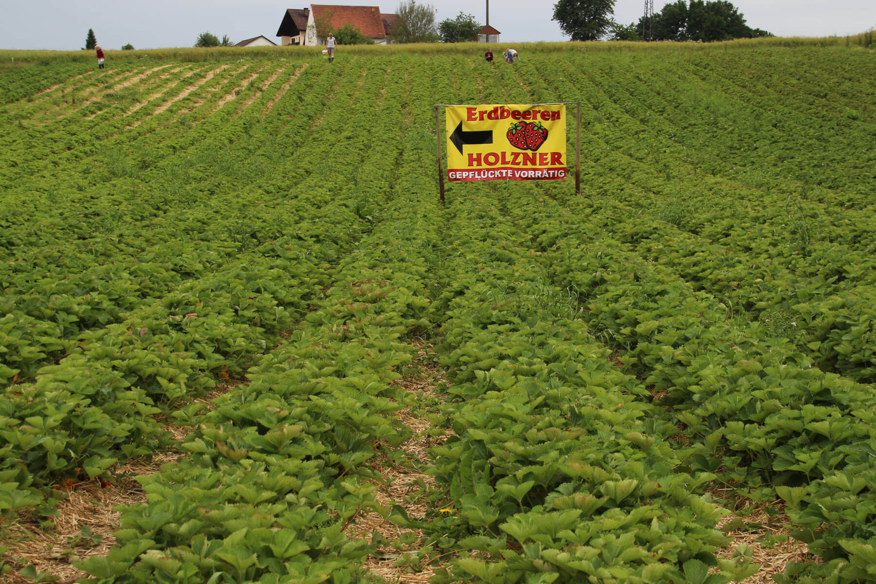 Unser Erdbeerfeld - Erdbeeren Holzner in Euernbach
