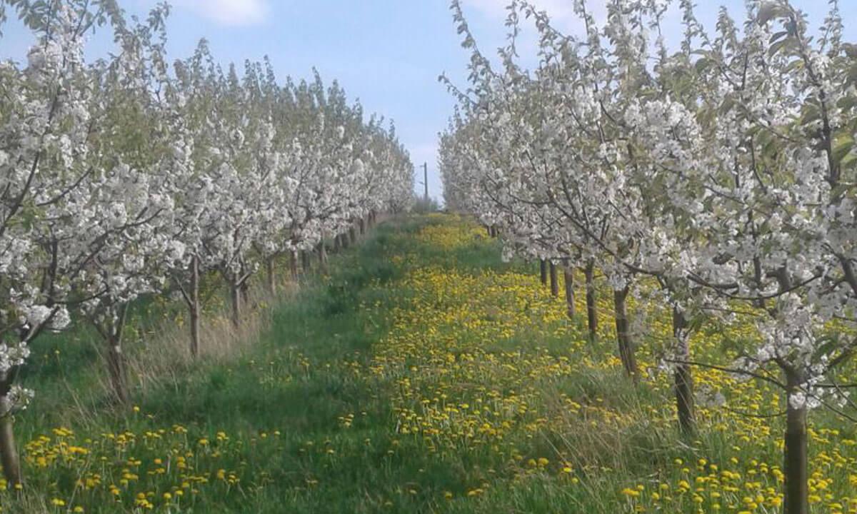Erdbeeren Holzner - Kirschplantage Unterweilbach zwischen Hebertshausen und Röhrmoos - ehemals Frantz Erdbeeren
